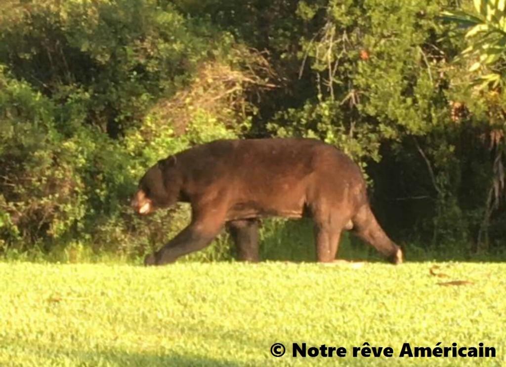 Ours en Floride
